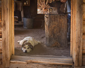 The is a blacksmith's dog at El Rancho de las Golondrinas in New Mexico.  Despite the blazing hot fire and the constant hammering of metal on metal one the anvil right above him, the little fella seems kind of bored.