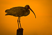 This is from sunset in Cedar Key, Florida. I believe that this is a juvenile American White Ibis. I really liked how the bird became essentially a silhouette against the brilliant orange background.
