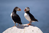 A pair of Puffins hanging out on the rocks of Machias Seal Island off the coast of Maine.