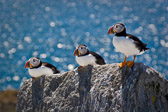 Some puffins posing on the rocks of Machias Seal Island off the coast of Maine.