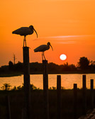 A pair of juvenile ibises resting on some pilings in Cedar Key, Florida. Silhouetted nicely aagainst the bold sunset colors.