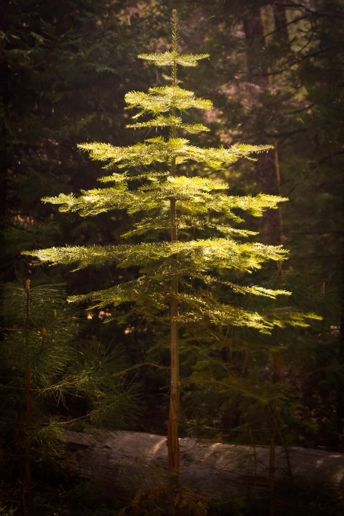 sequoia national park buddhist singles 10 towering facts about giant sequoias by michele debczak  general sherman in california's sequoia national park boasts a  but if you limit the pool to single-trunked trees, the giant.