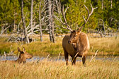 Along the Madison River in Yellowstone National Park.