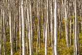 A grove of young aspens in Jasper National Park, Canada.