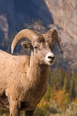 A bighorn sheep in her mountain home of Jasper National Park, Canada.