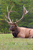 A huge 14 point bull elk relaxing in the of foothills of the Canadian Rockies.  Taken in Jasper National Park, Canada.