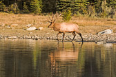 This huge 14 point bull elk was just passing by while we explored Pyramid Lake in Jasper National Park, Canada.