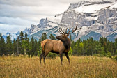 A bull elk was kind enough to pose for me near Lake Minnewanka, in Banff National Park.