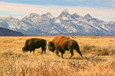 A quintessential Grand Teton scene - a pair of bison (one male, one female) grazing on an open range with the  spectacular Tetons for a backdrop. This was taken near Antelope Flats.