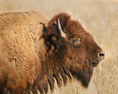 A beautiful female bison in Grand Teton National Park.