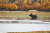 A bull moose wading near Oxbow Bend on the Snake River in Grand Teton National Park.