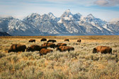 Quintessential Grand Tetons scenery - a heard of bison grazing in a filed with the spectacular Teton range for a backdrop. This was taken in Antelope Flats.