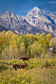 Two cow moose graze along the Snake RIver in the Grand Teton National Park