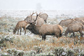 This amazing bull elk watches over his harem during the rutting season.  The late September snow was the first for the season.