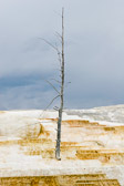 A dead tree stands alone in the Mammoth Springs terraces of Yellowstone National Park. The terraces are made of geyserite deposited by the flow of the springs over the years.
