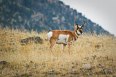 A pronghorn antelope in Yellowstone National Park. This was taken near Mammoth Springs.
