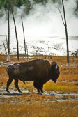 A lone bison enjoying the heat that the geysers and springs provide. Captures the beauty and weirdness that is Yellowstone National Park.