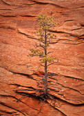 A lone tree clings onto a cliff face in Utah, near Canyonlands National Park. A real testament to survival in a pretty harsh climate.